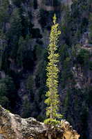Yellowstone Grand Canyon Tree-6686